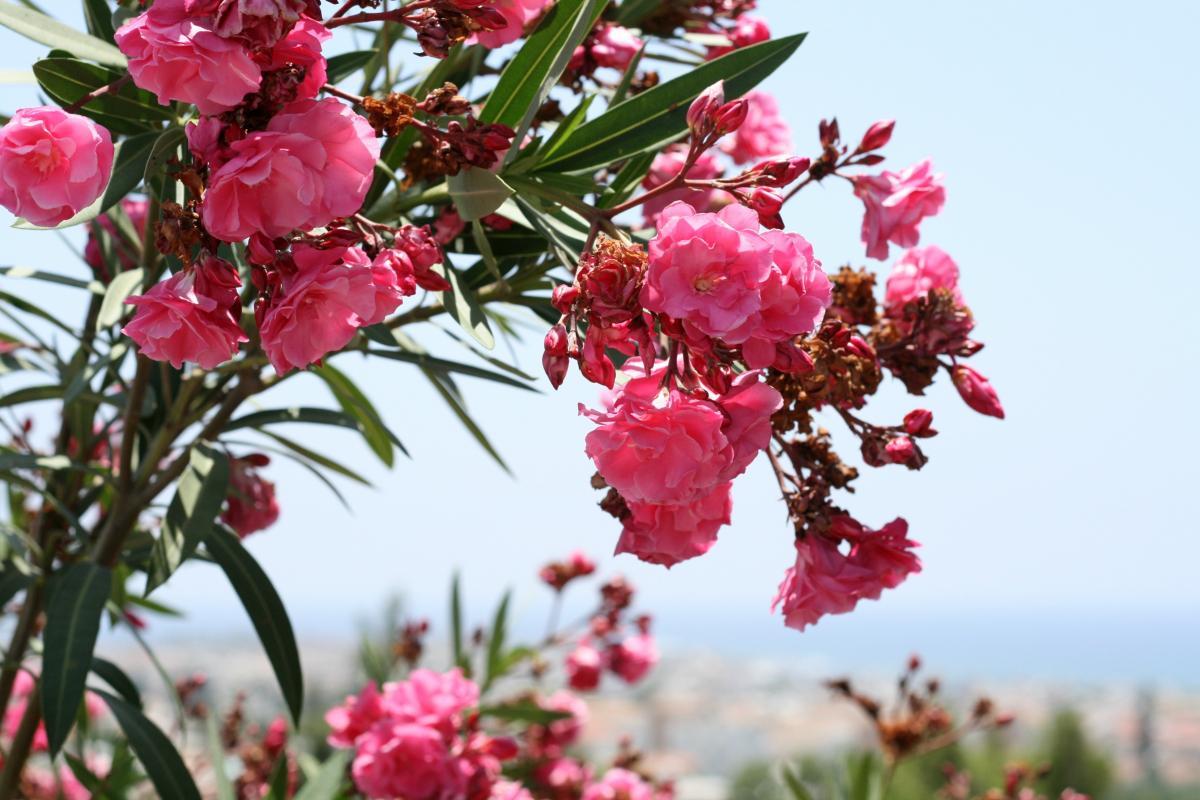 цветущие в крыму кустарники фото и названия ружье