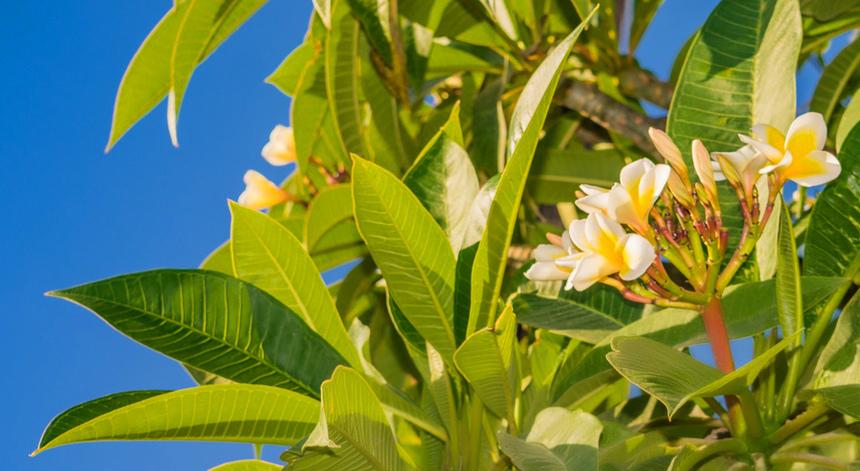 Кипрская красавица плюмерия с необычными особенностями!: фото 22