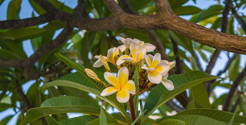 Кипрская красавица плюмерия с необычными особенностями!: фото 12