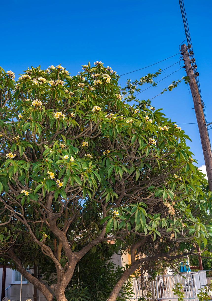 Кипрская красавица плюмерия с необычными особенностями!: фото 19